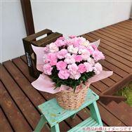 【母の日フラワーギフト】カーネーション 「ピンク&ホワイト」