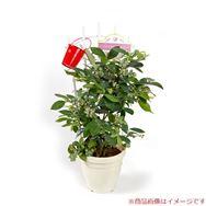 【母の日フラワーギフト】ブルーベリー2種植え